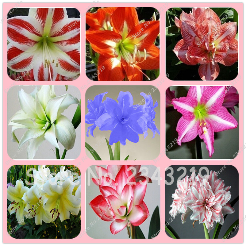 True Amaryllis Bulbs,Hippeastrum Flowers,Hippeastrum Bulbs,Bonsai Flower Bulbs,Barbados Lily Potted Home Garden Plant -2 Bulb