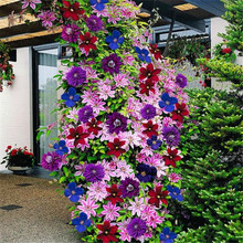 50PCS/lot 24 colours beautiful clematis seeds, clematis climbing plants seeds, bonsai flower for home garden decoration(China)