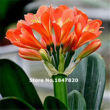 GGG 100pcs Clivia seeds Bonsai seeds seed oil color Carpenter creative boutique flower seeds(China)