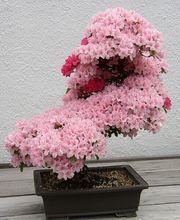 10pcs/lot Japanese Sakura Seeds Pink Red Bonsai Flower Cherry Blossoms Tree Potted Plant Home Garden