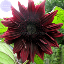 'Black Magic' Almost Black Red Ornamental Sunflowers, Professional Pack, 15 Seeds, 3-layer big blooms flowers E4065(China)