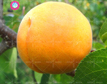 11.11 Big Promotion!2 pcs/lot giant apricot seeds juice fruit tree seed green garden&home aweet perennial organic herb plant(China)