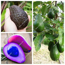 10 pcs Black Avocado Seeds Green Fruit Very Delicious Persea Americana Mill Pear Seed Easy to Grow Fruit Seeds for Home Garden