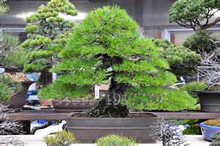 30pcs /bag Pinus thunbergii seeds, indoor bonsai tree seeds. home & garden ornamental potted plants real Japanese black pine