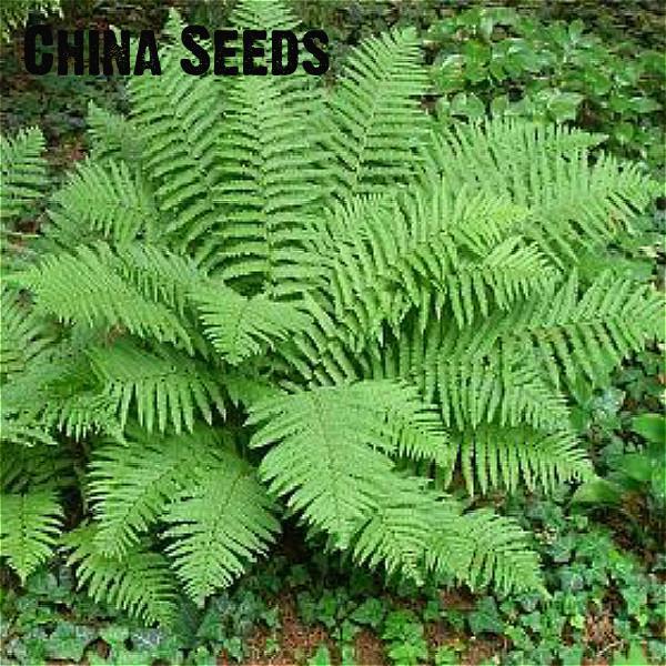 100 pcs Boston Fern Seeds