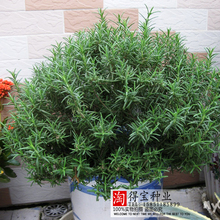 Limited Hot Sale Rosemary Seed Garden Terrace Indoor Potted Four Seasons Easy To Sow Seeds Vanilla Marine Dew 100Seeds