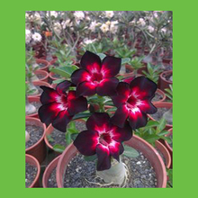 Extreme dark red petals of flowers seeds balcony potted desert rose 100% real seeds 1 PCS(China)