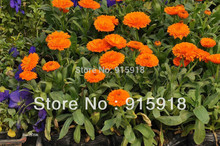 "200 Seeds, Calendula ""Pacific Beauty Orange"" (Calendula officinalis) Seeds~~~~(China)"