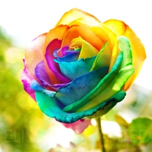 20 Rainbow Rose Bush Seeds fragrant Attract Butterflies Bees High Appreciation value