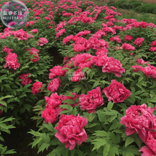 BELLFARM Rare Flower King Pink Red Peony Seedling Seeds, Professional Pack, 5 Seeds, Light Fragrant Garden Flowers E3262(China)