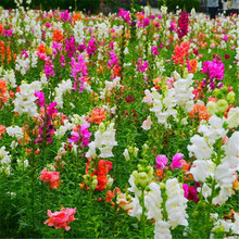 100seeds Potted Flowers snapdragon seeds Balcony Bonsai Plant For Garden & Home Four Seasons planting,easy to grow(China)
