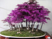 200pcs Rare Purple Dawn Redwood Bonsai Tree - Metasequoia glyptostroboides, DIY home garden, Very easy to grow! ornamental-plant