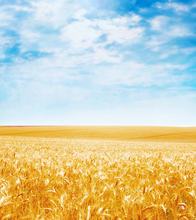 10x10FT Light Blue Sky Autumn Gold Wheat Crops Field Autumn Wedding Custom Photography Backgrounds Studio Backdrops Vinyl 3x3m