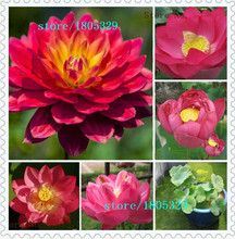 5 RED LOTUS Nymphaea Asian Water Lily Pad Flower Pond Seeds Aquatic plants Seeds AA
