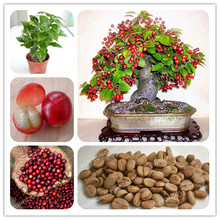 20 Pcs Coffee Bean Seeds Balcony Bonsai Tree Plant Seed Coffee Cherry Seeds  Green Food Organic Fruit Seeds For Home Garden