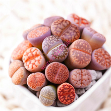 200 Rare Mix Lithops Seeds Living Stones Succulent Cactus Organic Garden Bulk Seed,bonsai seeds for indoor succulent plants