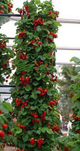 300 Seeds/Pack Climbing Red Strawberry Seeds very big and delicious ,Heirloom Vegetables and fruit seeds creeper seeds