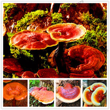 100Pcs/bag Ganoderma Lucidum Lingzhi Wild Plant,easy to plant ,high germination rate(China)