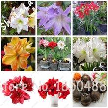 Buy 2 Pcs Amaryllis Bulbs,Hippeastrum Flowers Bulbs, (Not Seeds) Bonsai Flower Bulbs,Barbados Lily Potted Home Garden Plant for $1.37 in AliExpress store