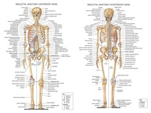 "Human Body Anatomical Chart Muscular System Watercolor inkjet Fabric poster 32"" x 24"" 17x13""--007(China)"