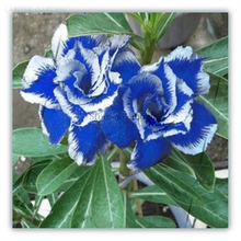 Rare Blue White Desert Rose Adenium, Professional Pack, 2 Seeds / Pack, amazing color E3553(China)