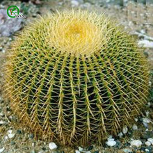 30Pcs The Golden Barrel Cactus Mix Organic Ornamental Seed Rare succulents, can purify the air and prevent radiation