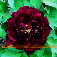 Rare Heirloom Chinese Black Peony Seeds, 5 Seeds, Beautiful Garden Flowers Bonsai Plants Paeonia suffruticosa-Land Miracle