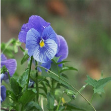Hua Xianzi blue pansy seeds for planting green potted balcony looks beautiful free postage(Bulgaria)