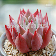Rare stone lotus 10pcs/lot E.colorata - v brandtii seed imported hybrid seeds, succulents plant  DIY home garden free shipping