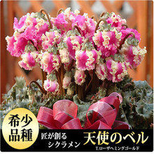 Seasons perennial flower seeds cyclamen - 20 seeds