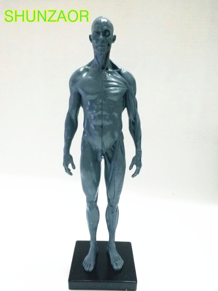 30cm Human Model for Men PU skin gray skeleton model Anatomy Skull Head Muscle Bone Medical Artist Drawing skeleton for sale<br>