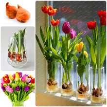 2 bulbs true tulip bulb,tulip flower,(not tulip seeds),flower bulbs,outdoor plant,Natural growth,bonsai pot for home garden
