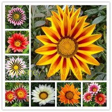 100 pcs Flower seeds Gazania seeds  rigens, potted flowers gazania seeds, sunflowers Africa Splendens Chrysanthemum