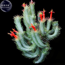 BELLFARM Tillandsia Funckiana Air Plant Seeds, approx 10 Seeds / Pack, professional pack, green with red flowers home garden(China)