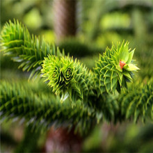 Spring Bonsai Araucaria Seeds 100pcs 10kinds mix Flower Seeds Novel Blooming Plant for Courtyard Garden Free Shipping