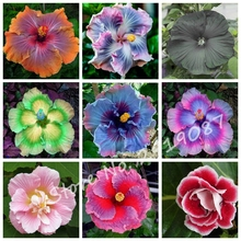 Special Offer! Giant Hibiscus Flower Seeds,Mix Colors Bonsai Tree Seeds Planta/Plante for Home Garden 50 Pcs/bag Free Shipping(China)