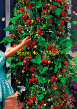 500pcs farmer Direct Selling Indoor Plants Strawberry Tree Seeds & Rare Color Strawberry Seed Fruit Seeds for Garden Bonsai