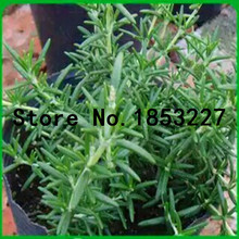 100 Pcs/Pack Big Sale Rosemary Seeds DIY Garden Plant Easy To Grow Herb, vegetable seeds healthy,bonsai Flower Seeds