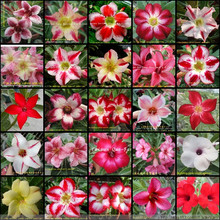 50pcs /pack Mixed 25 Types Single Layer Cheap Adenium obesum Desert Rose Seeds - Home Garden Bonsai Flower Plants Seed