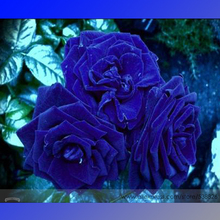 Rare Heirloom 3-Flower Blue Damask Rose Bush Flower Seeds, Professional Pack, 50 Seeds / Pack, Fragrant New Year Flower #NF636