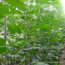 Ash tree seeds freshly collected seeds of fast-growing palm wood ash ash Shuqing white wattle seed real shot 0.2kg/lot