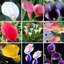 Calla Lily Bulbs Potted Balcony Plant Calla flower bulbs Can Radiation Absorption Mixed Colors not calla lily plant seeds