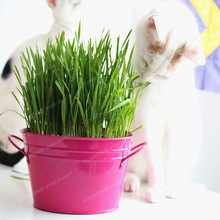 Cat Grass Seeds Foliage Plant Seeds Wheat Grass Mint Smell Superior Cat Food For Your Pet Easy To Grow 100 Pcs/Bag(China)