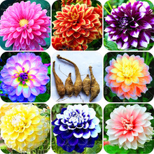 2pcs Blue Dahlia bulbs Beautiful Gardens Dahlia pinnata Bonsai Plant bulbs Flower bulbs Perennial