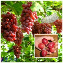 Fruit seeds Bonsai fruit Giant Red Globe Grape Vine Fruit Plant Seeds Red grapes garden decoration plant 20pcs A79(China)