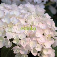 20pcs/lot Hydrangea Macrophylla Seeds 'Endless Summer Blushing Bride' Flower SeedHardy Shrub Bonsai Potted Plant Home Garden