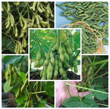 1 packs of 10pcs Edamame seeds, bean seeds of vegetable soybean C032 foods high in dietary fiber content(China)