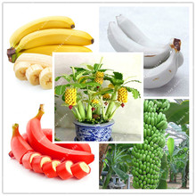 100 Pcs Very Rare Four Color Banana Seeds Dwarf Fruit Trees Potted White Banana Red Seeds Green Garden Plants Milk Taste