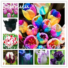 40 particles tulip flower seeds (not tulip bulbs),Flowers symbolizes love,tulipanes beautiful flower seeds home garden plants