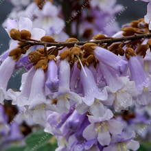 ZLKING 100 Pcs Paulownia Seeds Fast Growing New Forest Tree Balcony Rare Romantic Aroma Gardening Decorations And Ornaments